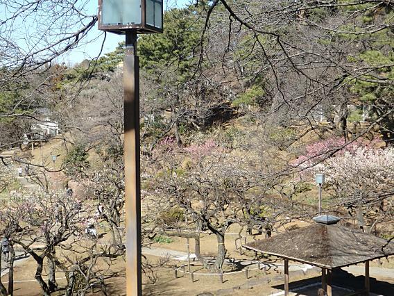 大倉山公園梅林20170207 (9)