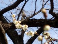 大倉山梅林公園04