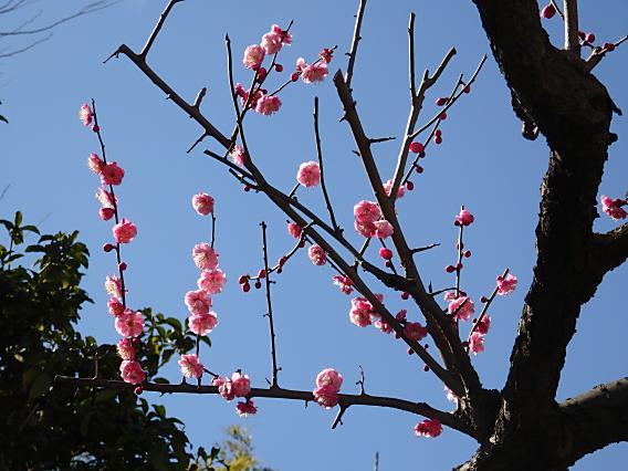 大倉山公園梅林20170207 (2)