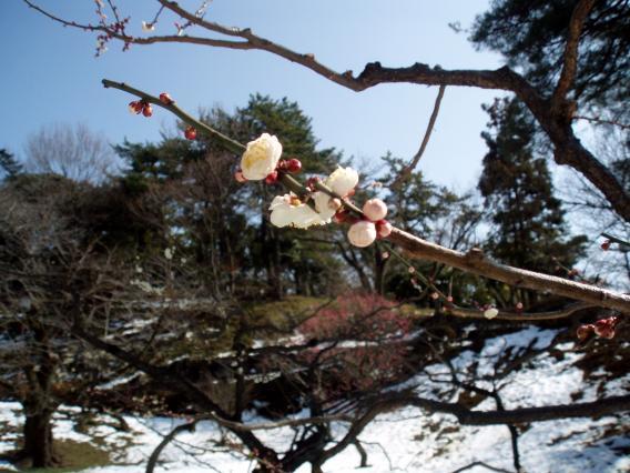 大倉山梅林公園29