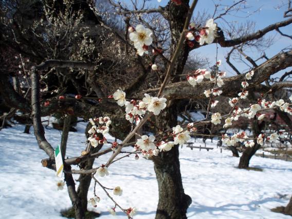 大倉山梅林公園22