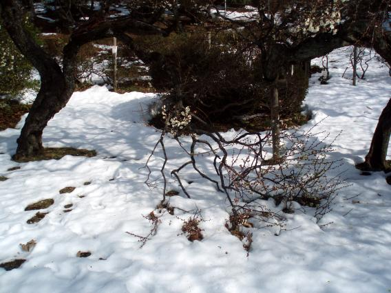大倉山梅林公園06‐2014年雪に見舞われ折れた枝。