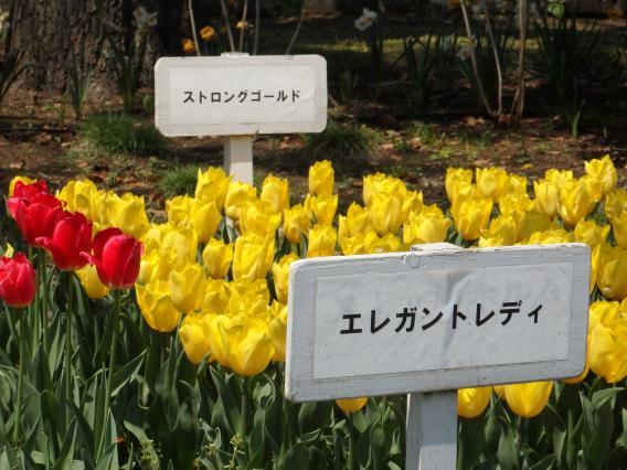 横浜公園チューリップ20160412 (10)