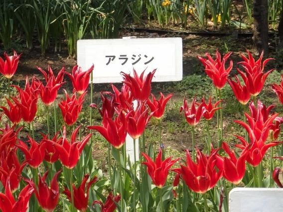 横浜公園チューリップ20160412 (6)