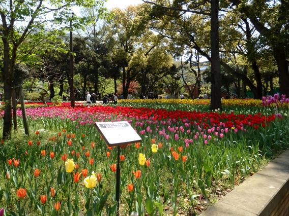 横浜公園チューリップ20160412 (61)