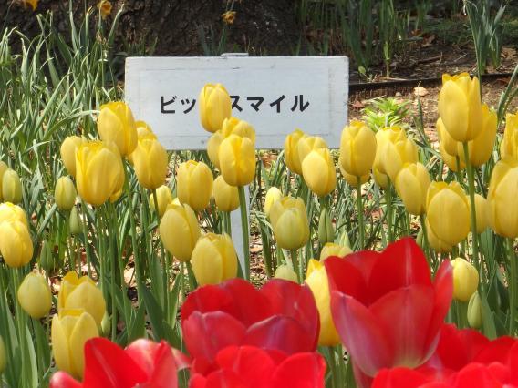 横浜公園チューリップ20160412 (14)