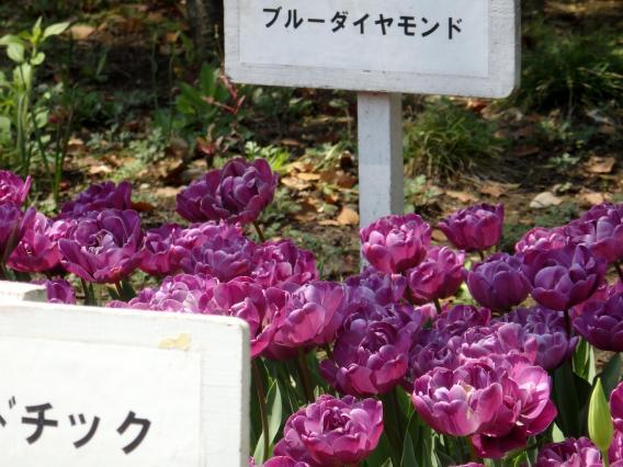 横浜公園チューリップ20160412 (16)