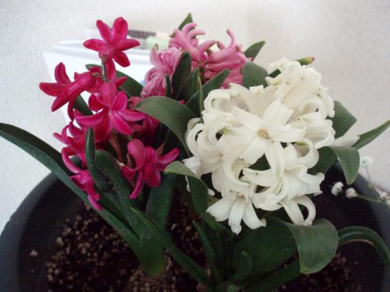 hyacinth20140319のようす