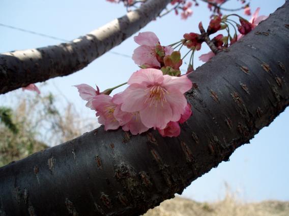十日市場桜