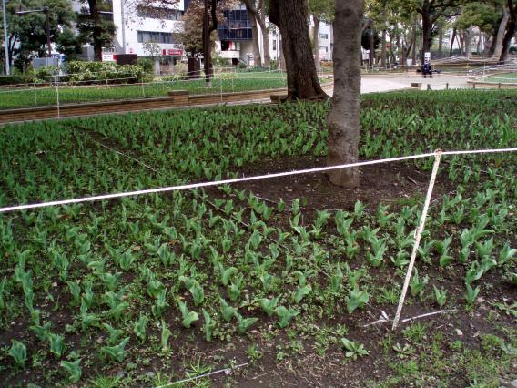 横浜公園チューリップ2014