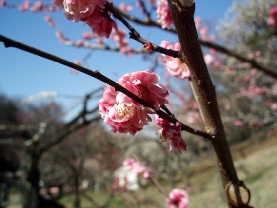 梅・八重咲き