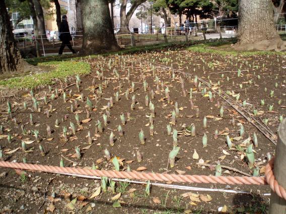 横浜公園チューリップ準備中2014