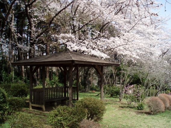 三保市民の森桜