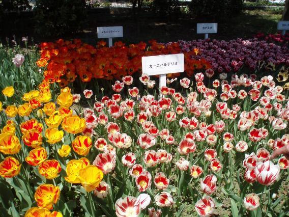 横浜公園(横浜スタジアム)チューリップ20140415