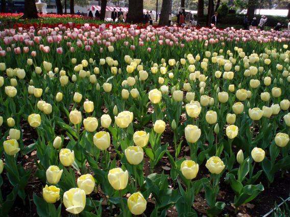 Tulips20140408 (13)