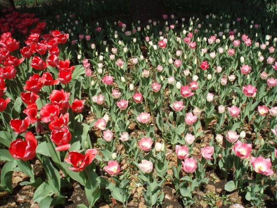 Tulips20140408 (20)