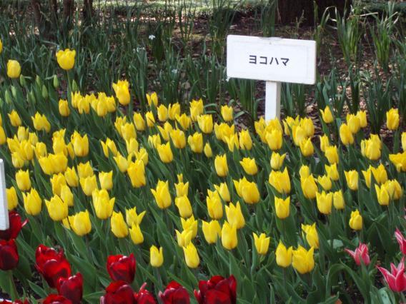 Tulips20140408 (25)