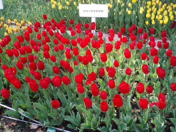 Tulips20140408 (26)