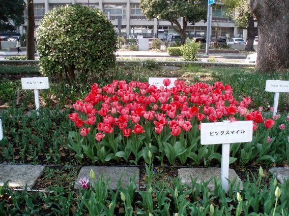 Tulips20140408 (29)