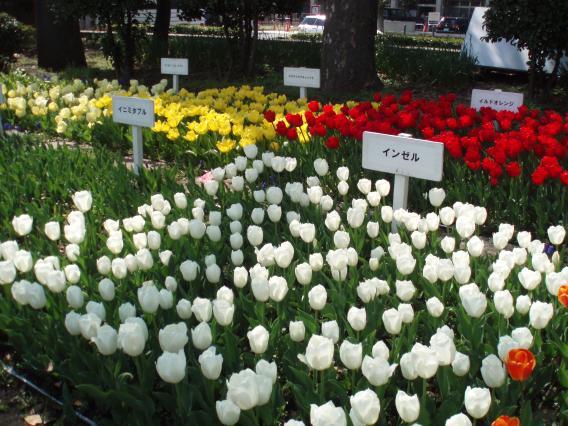 Tulips20140408 (33)
