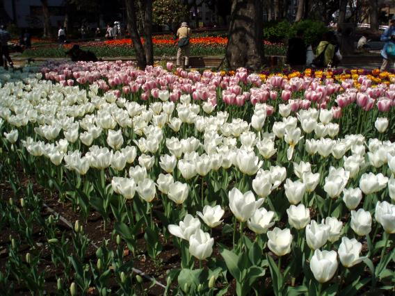 Tulips20140408 (35)