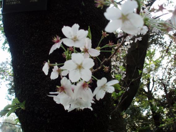 野毛山動物園・桜