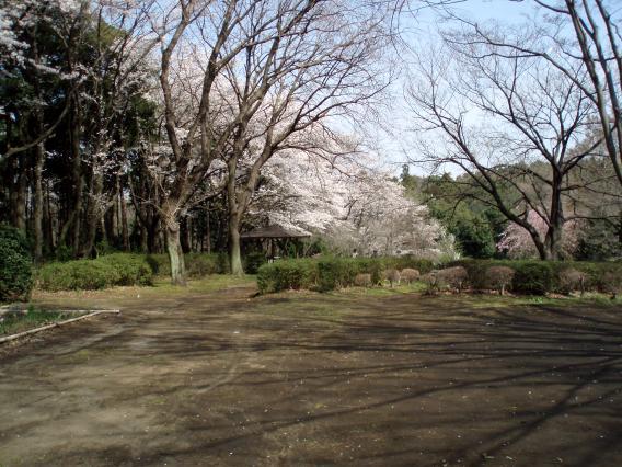 三保市民の森・桜