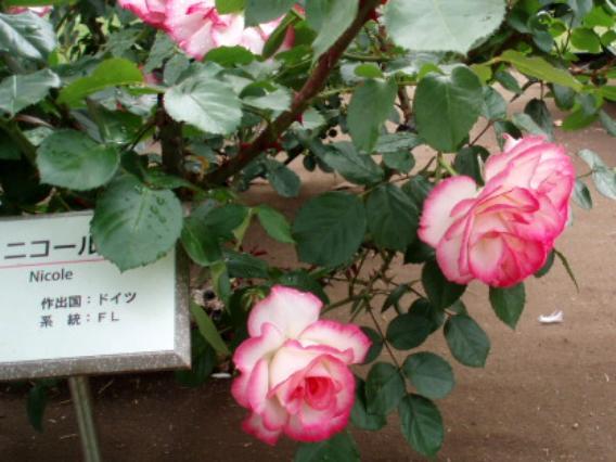 薔薇ニコール
