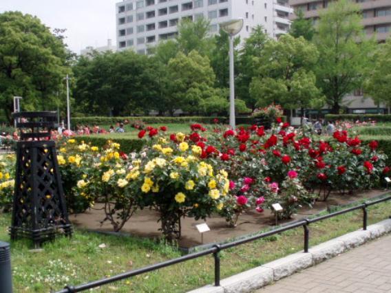 山下公園バラ
