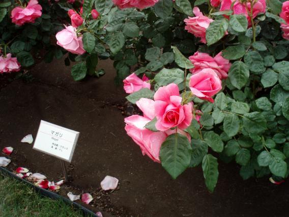 山下公園バラ20140513 (23)