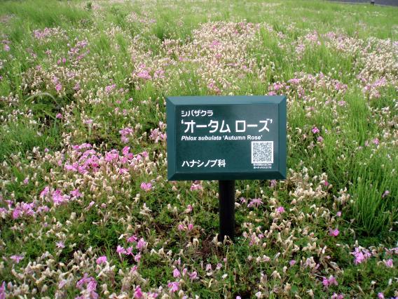 芝桜オータムローズ
