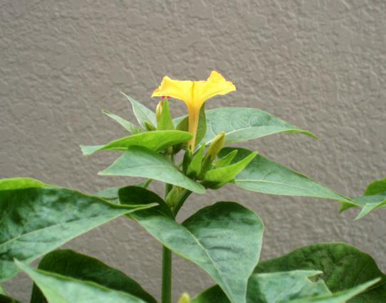おしろい花黄色