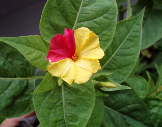 おしろい花ピンクと黄色混合