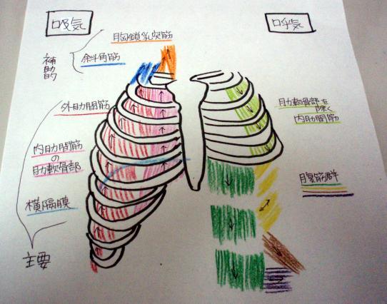 呼吸する時の筋肉の絵