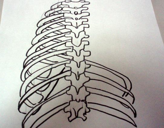 背骨と肋骨の絵
