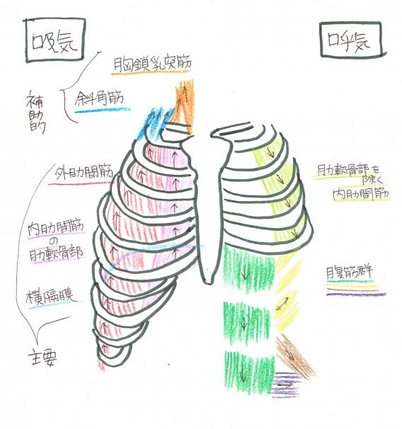 肋骨 (1)