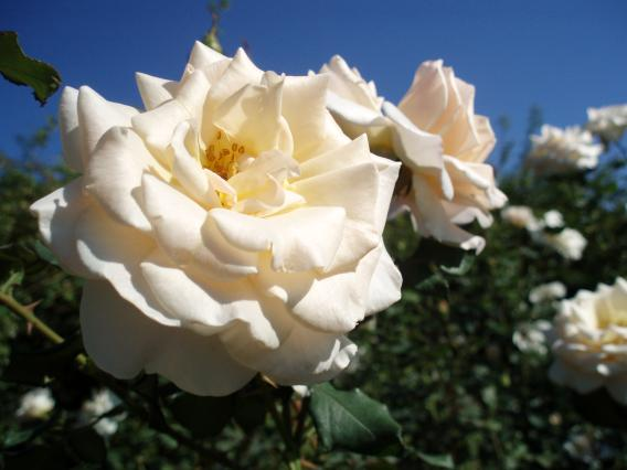 横浜イングリッシュガーデン秋のバラ