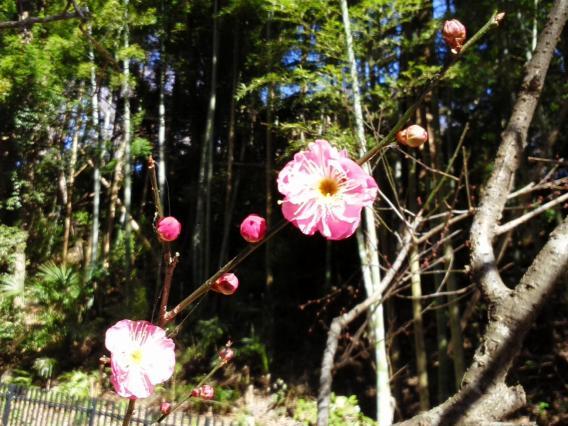東高根森林公園201501梅林 (3)