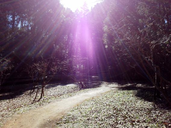 東高根森林公園201501梅林 (4)