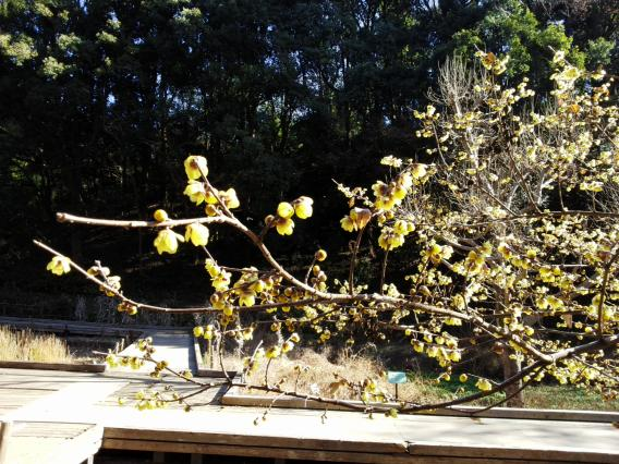 東高根森林公園201501蝋梅25-4