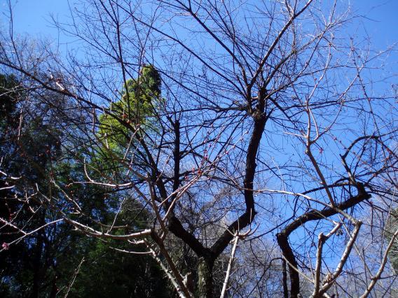 東高根森林公園201501梅林 (8)