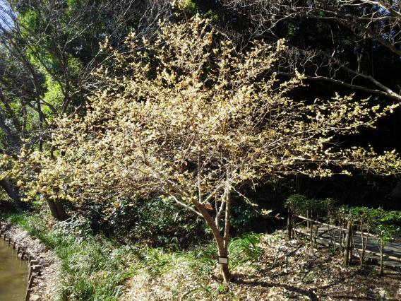 東高根森林公園201501蝋梅25-3