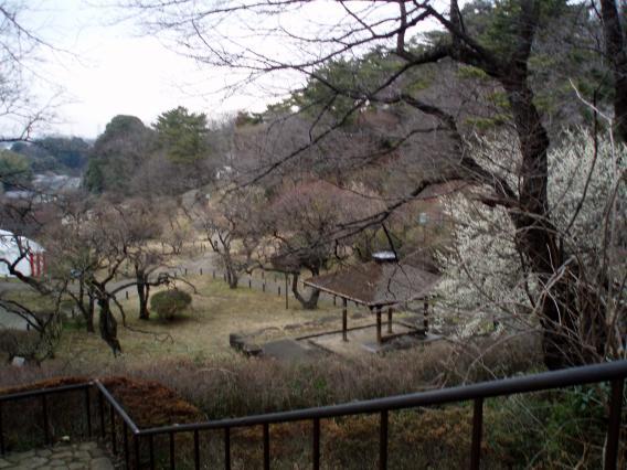 大倉山公園梅林20150217 (5)
