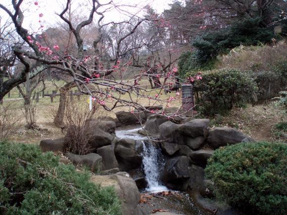 大倉山公園梅林20150217 (17)