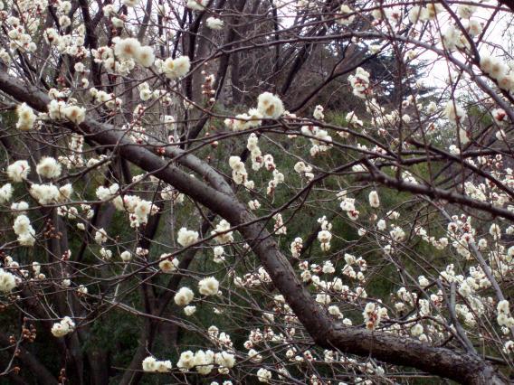 大倉山公園梅林20150217 (3)