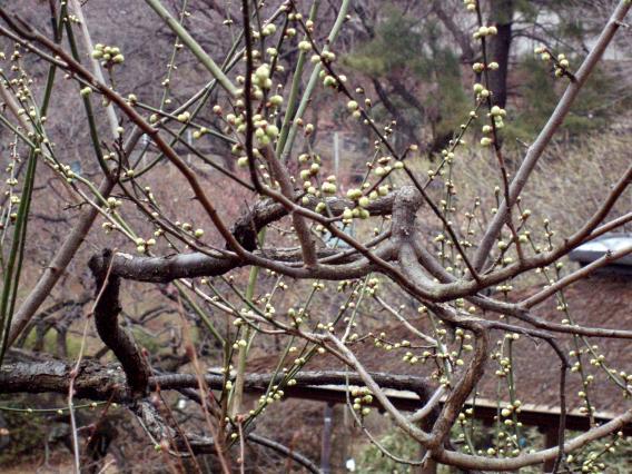 大倉山公園梅林20150217 (7)