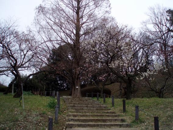 大倉山公園梅林20150217 (20)