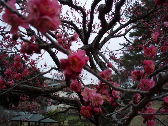 大倉山公園梅林20150217 (15)