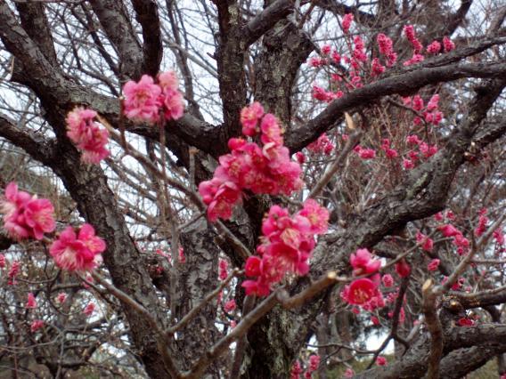 大倉山公園梅林20150217 (14)