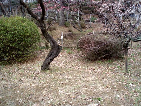 大倉山公園梅林20150217 (10)